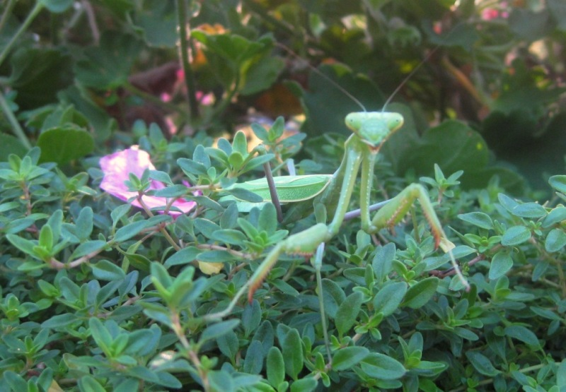 Praying Mantis - Odd Garden Aliens