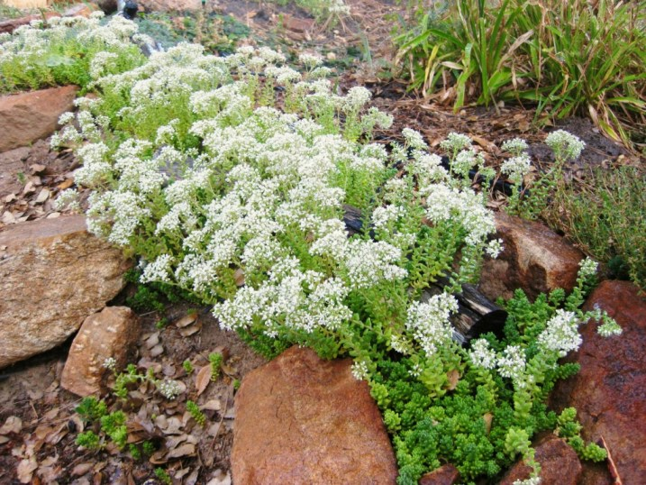 White Sedum, S album clusianum, fills in betwen rock edging Photo: Sue Langley