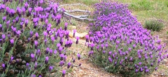 Lavender fields...