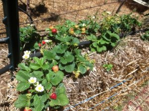 'Straw' berries