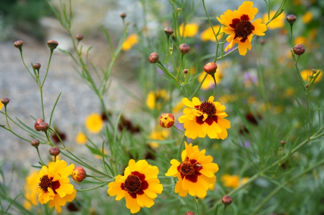 Airy Coreopsis tinctoria or Plains Coreopsis, easy from seed...