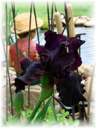 "Jeanne Sammons says, "" Gorgeous color and a re-bloomer!"""