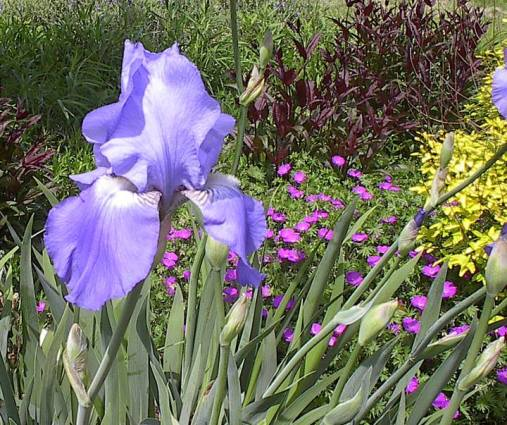 Rick McCullum's blue iris combines nicely with yellow and purple