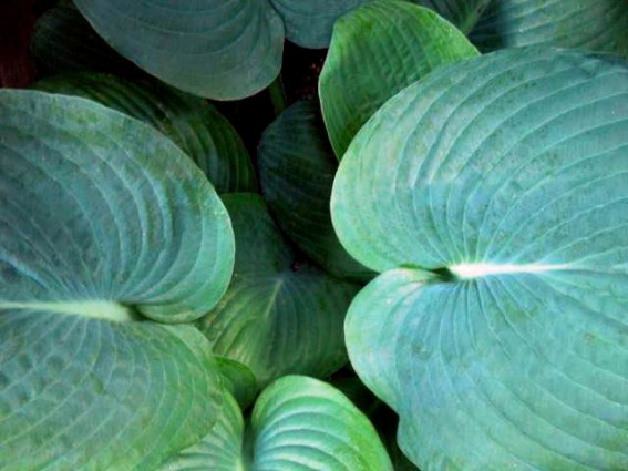 Diana L. Duggan shows off the leaf shape