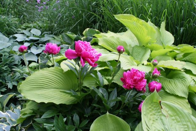 Mary Taylor's peonies peak out from under the gorgeous hosta