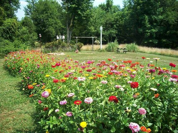 Another view of Kay's zinnia garden