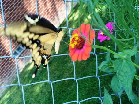 Ashley Hafer shows one of her Zowie Zinnias