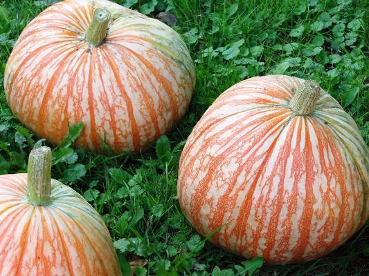 Tami Williams's striped pumpkins
