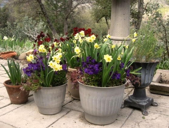 Beautiful blooms, both daffodiils and violas, in March