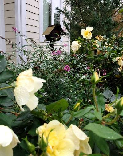 The Chirping Frog This rose and butterfly bush are still blooming
