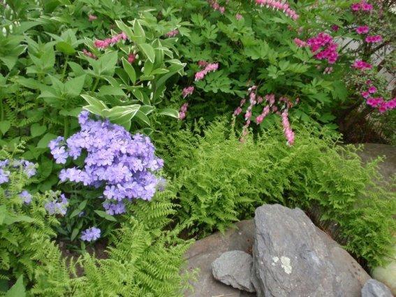 Blue Phlox, pink Bleeding heart, ferns and pink Azalea