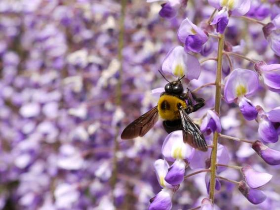 Sue Jordan's photo of a carpenter bee on her wisteria