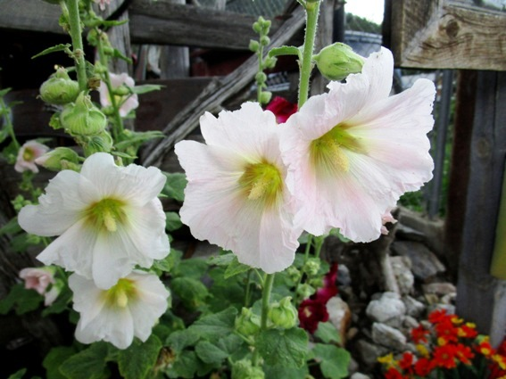 Hollyhocks have charming crepe papery petals