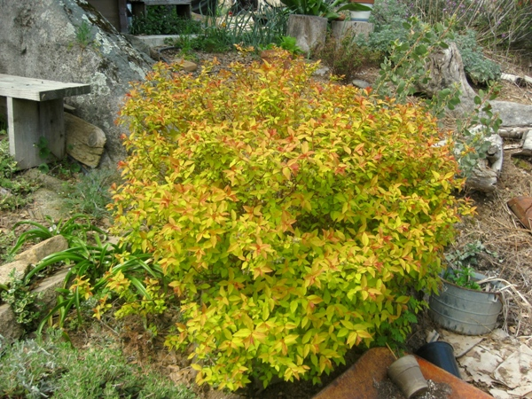 Spirea, like this Spiraea bumalda 'Goldmound,' can be propagated by taking cutting of growing tips
