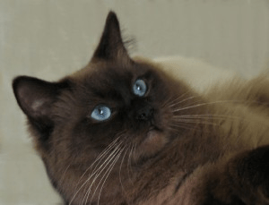 Rocky (Rockford), Seal Colorpoint Ragdoll, 4 1/2 years old