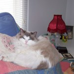 Ragdoll Rescue In Greenlawn, Long Island, NY