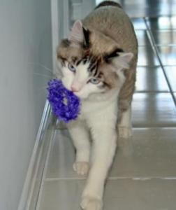 My Newman Kitty Testing A Ring-A-Ding Toy