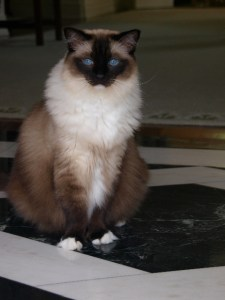 Caymus, Ragdoll Cat