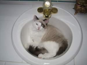 Sneakers as a kitten in a sink