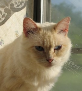Briseis is a sweet Flame Point Ragdoll, about 2 years old