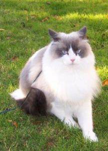 Louie on a leash and NOT liking it, but he looks so pretty in the green grass
