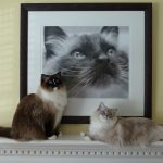 My Ragdoll Cats – Charlie, Rags and Trigg
