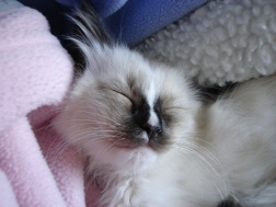 Hobbs as a Ragdoll Kitten
