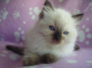 Saffireblu Ragdoll Kitten Midnight at 7weeks