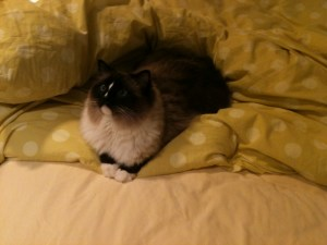 Ragdoll cat in the sheets