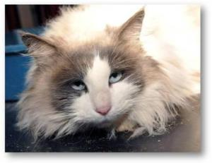 Blue Bicolor Ragdoll Cat Adopted by Ed Denton