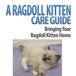 A Ragdoll Kitten Care Guide: Bringing Your Ragdoll Kitten Home