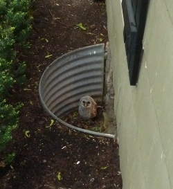 Barred Owlet in window well