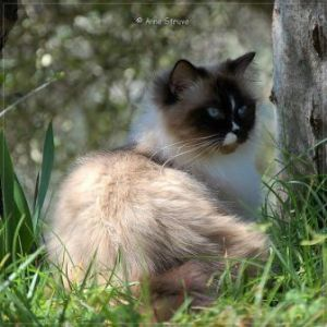 Ragdoll Norbert owned by Anne Struve