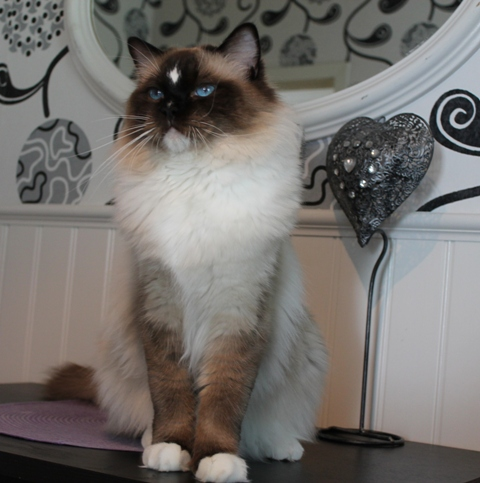 Ragdoll Perry Cassus Perrin Aybara  Owned by Carina Olsson Sweetrags in Sweden