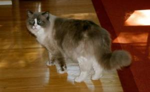 Sebastian, a 2-year old Blue Tortie Mitted Ragdoll Cat with a Blaze
