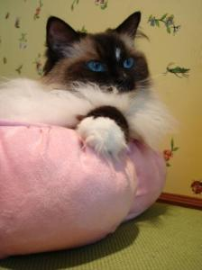 Maddie in The Puffy Round Pink Cat Bed by Petmate
