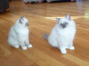 Tyco as a kitten with liter mate