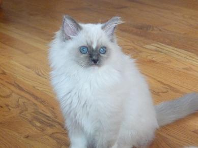 Tyco, a blue-mitted with a diamond blaze Ragdoll kitten