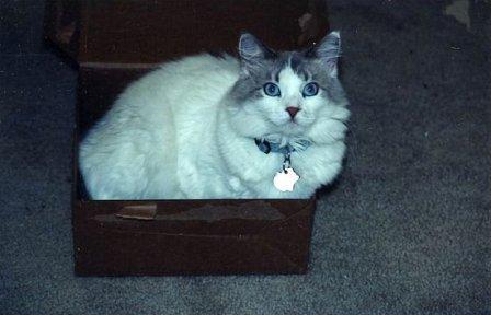Abbey - 12 pound cat in a 10 pound box
