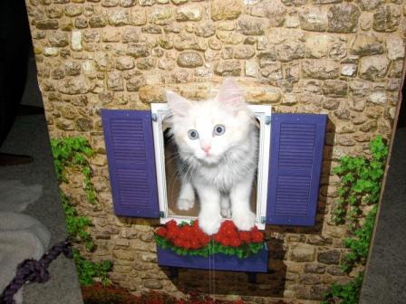 Bode, a flame bicolor mink kitten, owned by Pamela
