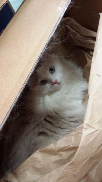 Khari - Ragdoll in a box owned by Martha Jimenez