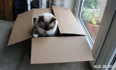 Inkie a seal mitted ragdoll aged 16 months owned by Charlotte Edwards