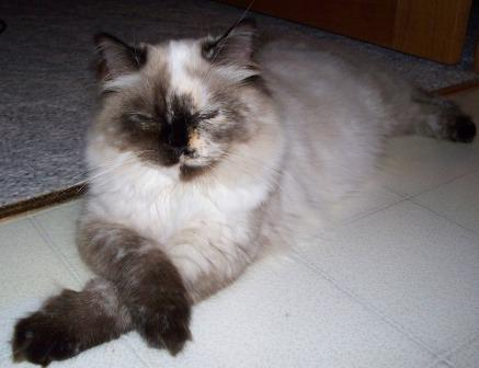 Annie, a seal point tortie Ragdoll, owned by Deb Noll