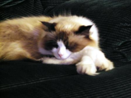Charlie, a seal bicolor Ragdoll, owned by Deb Noll