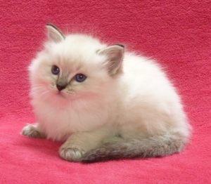 CherishMe Ragdoll Kitten
