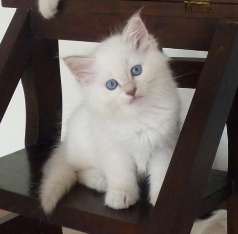 CherishMe Ragdolls Kitten