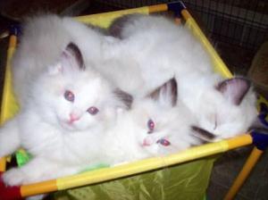 Angelheart Ragdolls Kittens