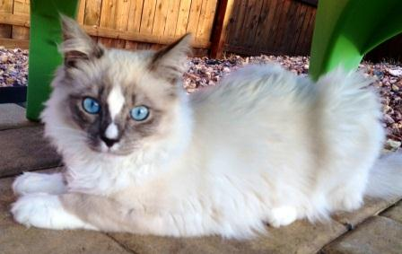 Simba (blue mitted Ragdoll cat with an hourglass blaze) loved by Nancy