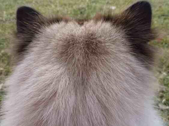 Ragdoll Cat Ear Hair