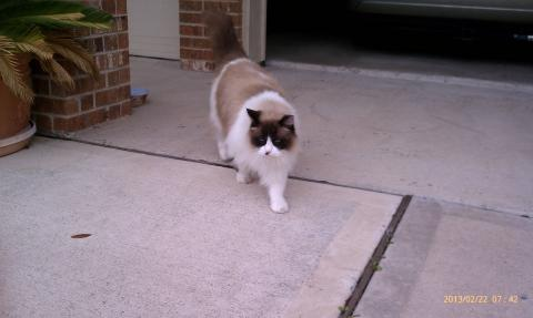 Ragdoll Rescue Pearland, Texas - FooFoo 9 years old